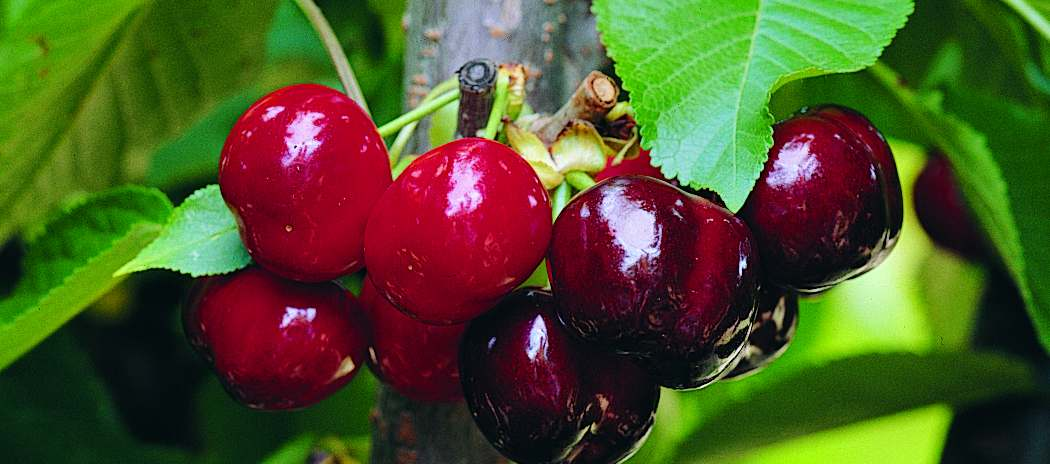 Cerecera, vitaminas de cerezas