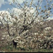floracion 2014 Valle del Jerte