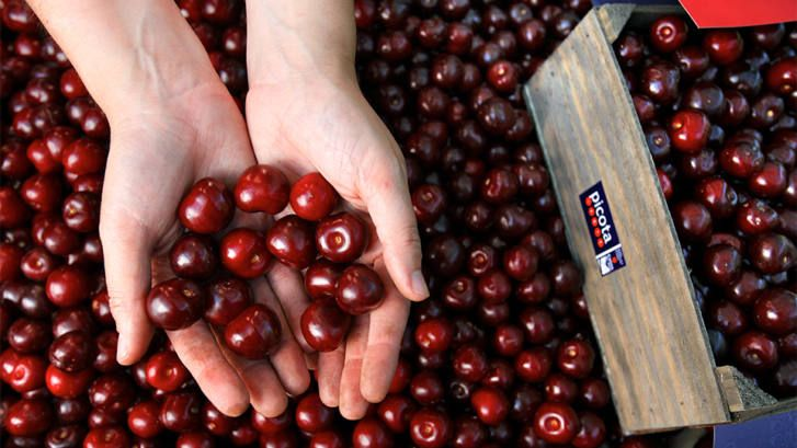 Hands holding Jerte Picota cherries.